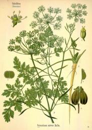 Petroselinum