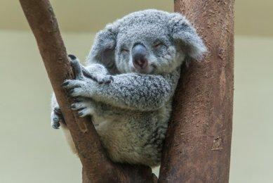 Koala LumpÚr